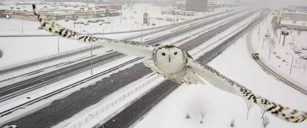 PHOTO: A Snowy Owl was caught on traffic camera, Jan. 3, 2016, in Montreal.