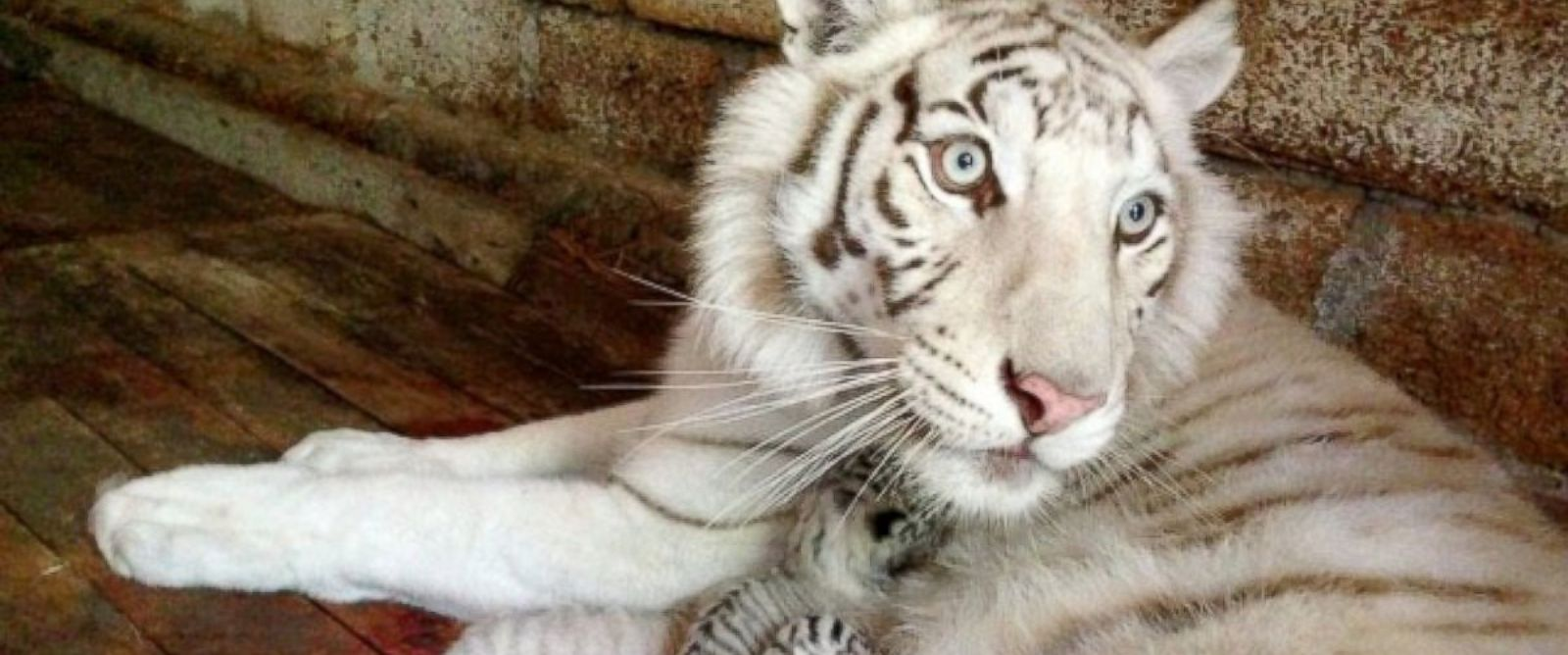 PHOTO: The Yalta Zoo in Crimea, Ukraine shared this image of their beloved white tiger, Tigryulia, and her cubs.