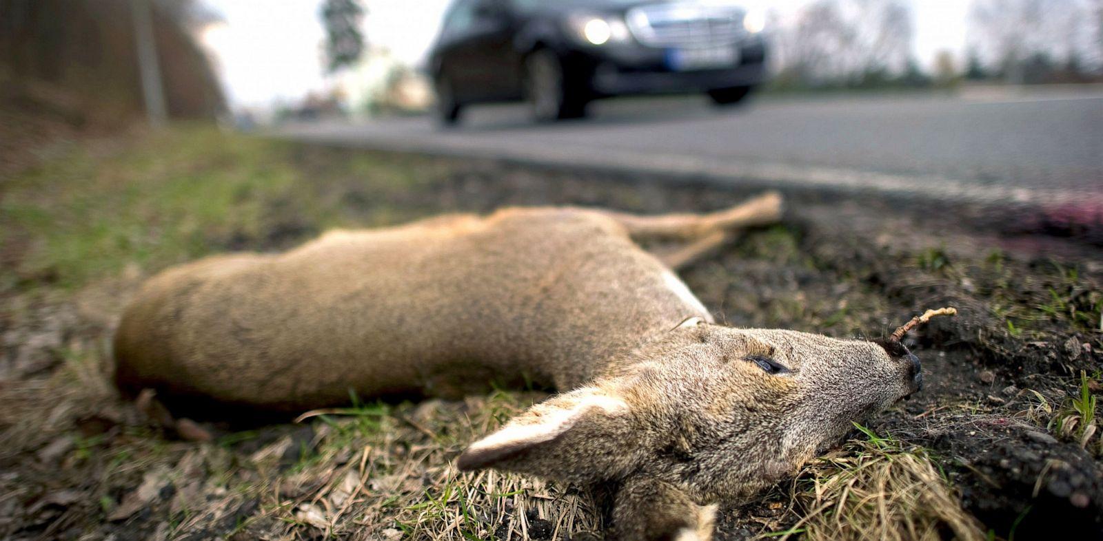 PHOTO: A dead deer lies on the side of an A-Road near Scharfenberg, Germany, March 20, 2011.