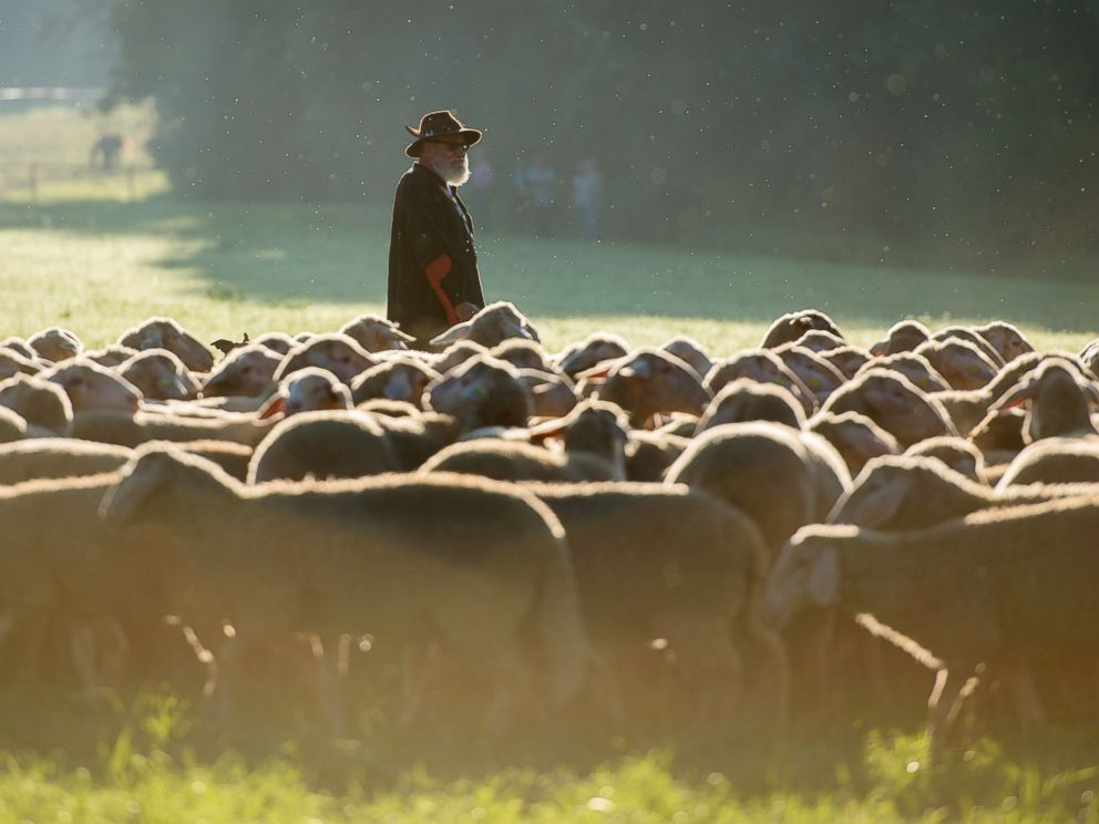 PHOTO: Ludwig Gange, a participant in the competitive herding competition of the State Sheep Breeding Association of Baden-Wuerttemberg, stands with his sheep on a field in Markgroningen, Germany, Aug. 26, 2016.