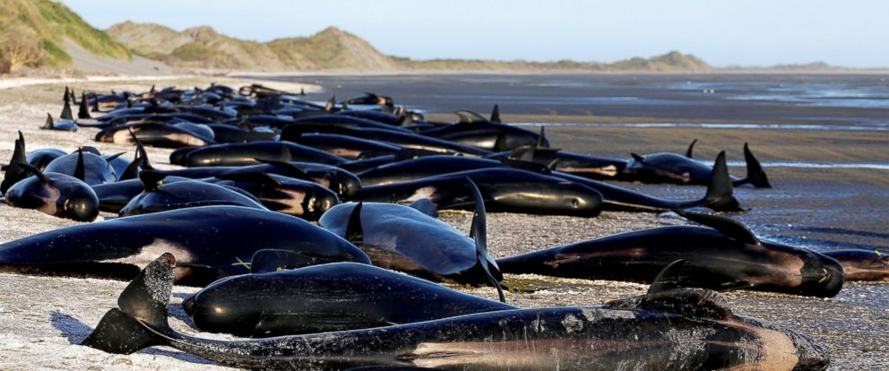 Some Of The Hundreds Stranded Pilot Whales Marked With An X To Indicate They Have
