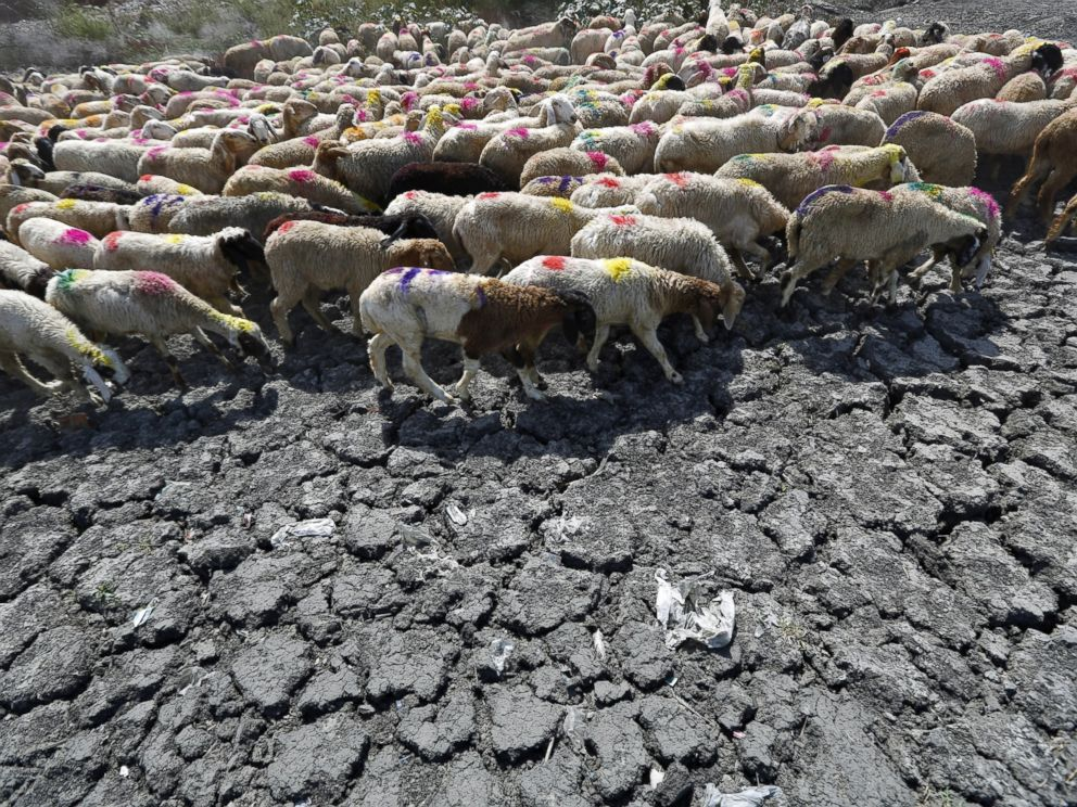 PHOTO: Sheep cross a parched area of a dried-up pond on a hot summer day on the outskirts of New Delhi, May 27, 2015.
