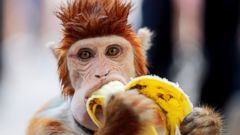 PHOTO: A monkey eats a banana as it takes a break from performing at a cultural center in Islamabad, Pakistan, Oct. 22, 2016.