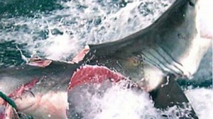 VIDEO: An image showing a great white bitten in half is causing a buzz on the Web.