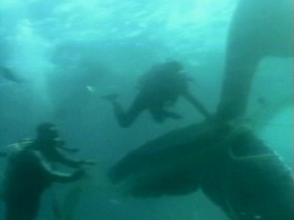 VIDEO: Divers rescue a trapped whale.