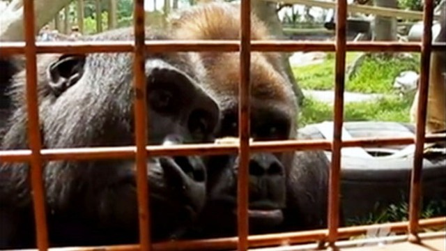 VIDEO: Canadas Calgary Zoo primates intensely eye the insect as it inches along an enclosure gate.