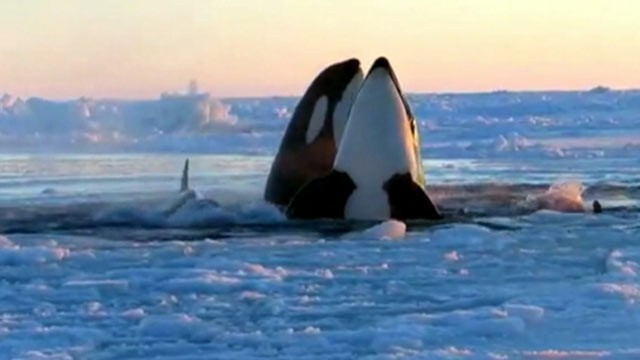 PHOTO: A pod of killer whales have become trapped under ice in Quebec, Canada.