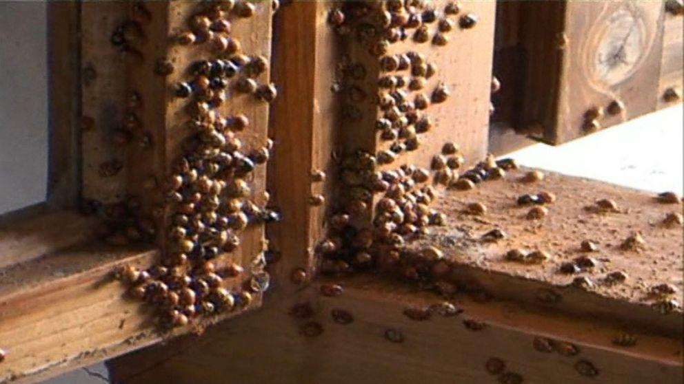 Ladybug Home Invasion Video - ABC News