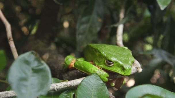 Toxins from this Amazonian tree frog are being used as part of the latest cleansing trend.