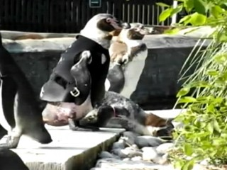 Watch: Penguin Wears Wet Suit to Protect Featherless Body