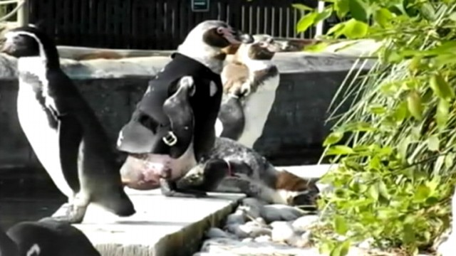 VIDEO: Humboldt penguin sheds all its feathers at once during annual molt, putting skin at risk of sunburn.