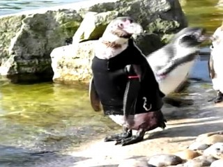 Ralph The Penguin Needs a New Wetsuit