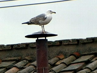 Watch: 'Sistine Seagull' Makes Home Atop Chimney