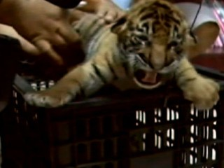 Man Tries to Smuggle 16 Tiger Cubs