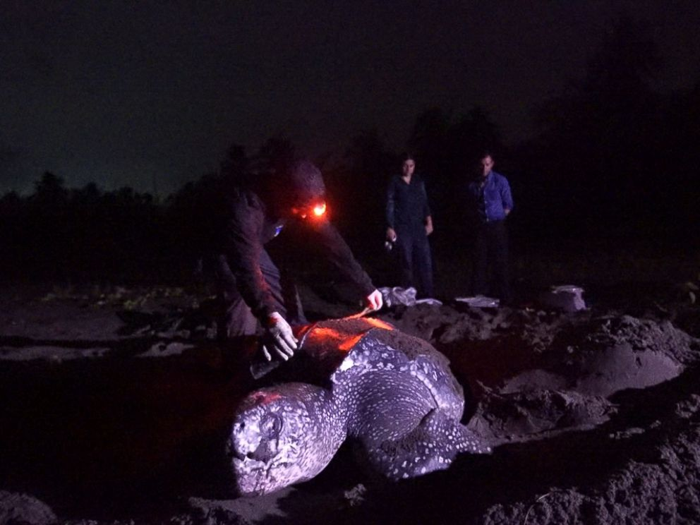 Weighing in at up to 2,000 pounds, leatherback turtles are the largest turtles on earth.