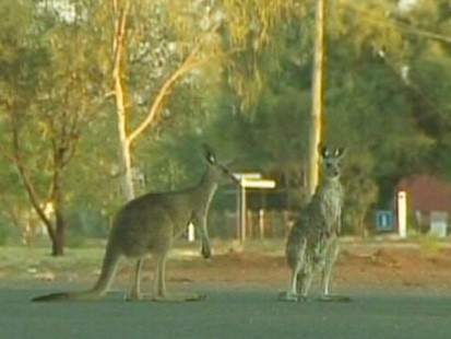 VIDEO: Why are hundreds of kangaroos overrunning towns in the Australian outback?