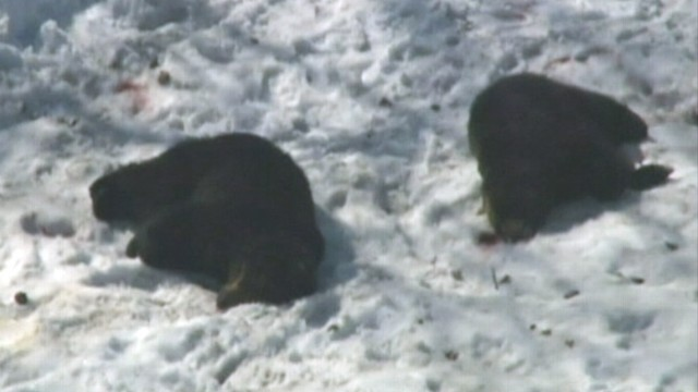 VIDEO: The bears were hunted down and killed after mauling two women.