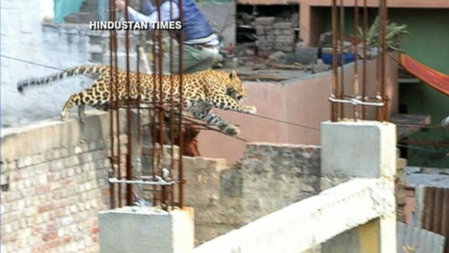 VIDEO: Schools and markets have been shut down while authorities hunt for the animal.