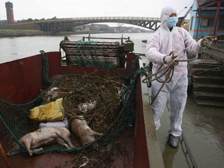 6K Dead Pigs in River Not Affecting Water Quality, Says China