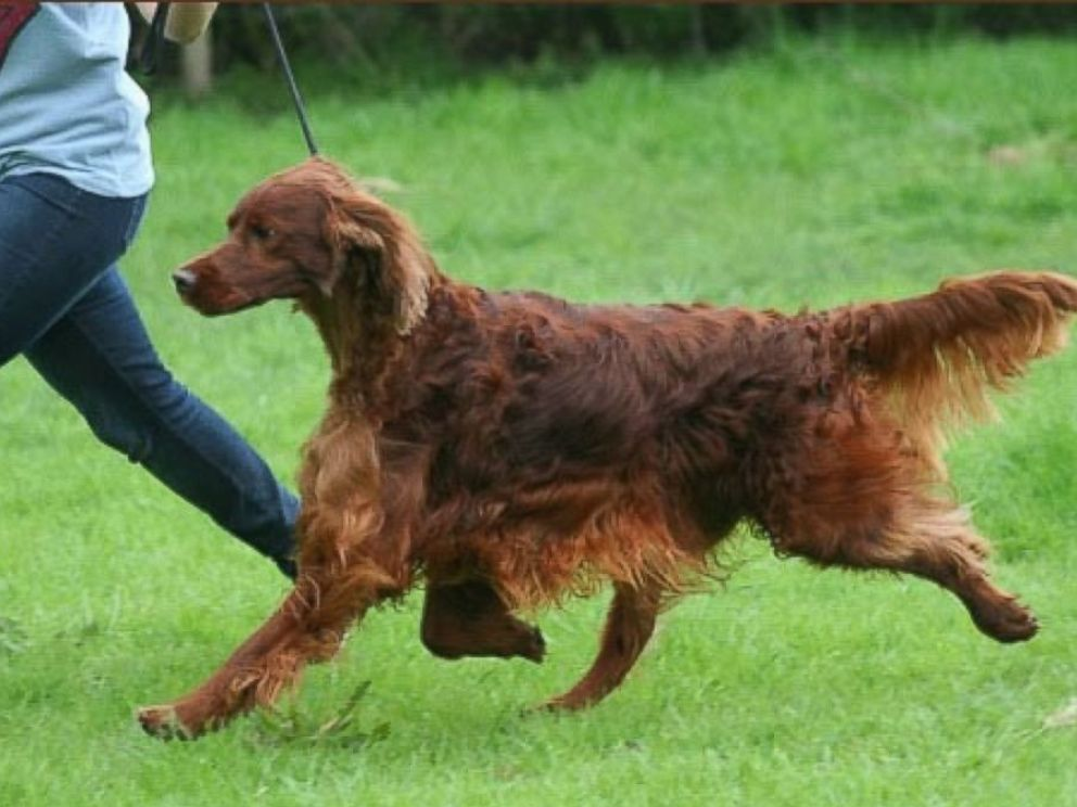 PHOTO: Irish Red Setter Thendara Satisfaction, known as Jagger runs in this undated image, made available from Oakdene.Be on March 9, 2015.