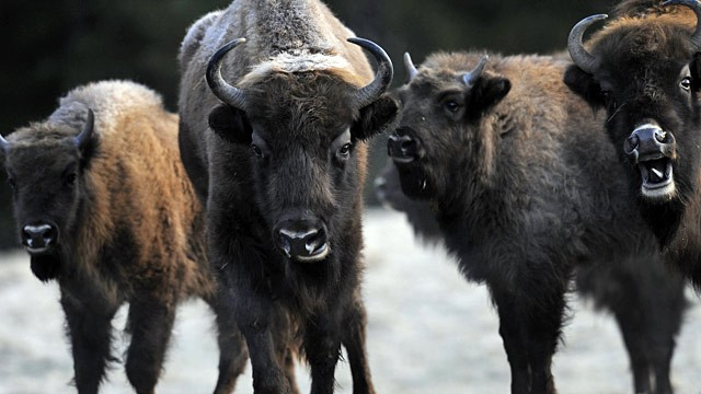PHOTO: European bison