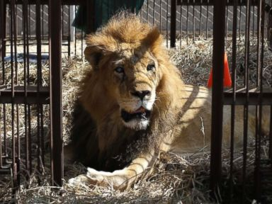 Vesti - 33 Rescued Circus Lions Airlifted to South African Sanctuary