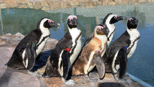 PHOTO: Five penguins, Josie, Albert, Charlie, Chalet and Hawaii, left to right, stand by the water at Wayne Newtons  Casa de Shenandoah, Tuesday, March 12, 2013, in Las Vegas. Most of the exotic animals in the zoo have been sold to a zoo in Oregon.