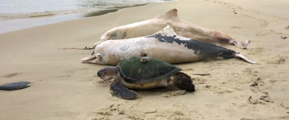 PHOTO: Environmentalists in Brazil have been trying to figure out why scores of dolphins have died from a mysterious disease over the past several weeks in the Bay of Sepitiba, around 45 miles from Rio de Janeiro.