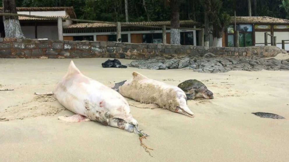 PHOTO: Brazilian environmentalists are trying to figure out why more than 80 gray dolphins have been found dead in a bay west of Rio de Janeiro in recent weeks.