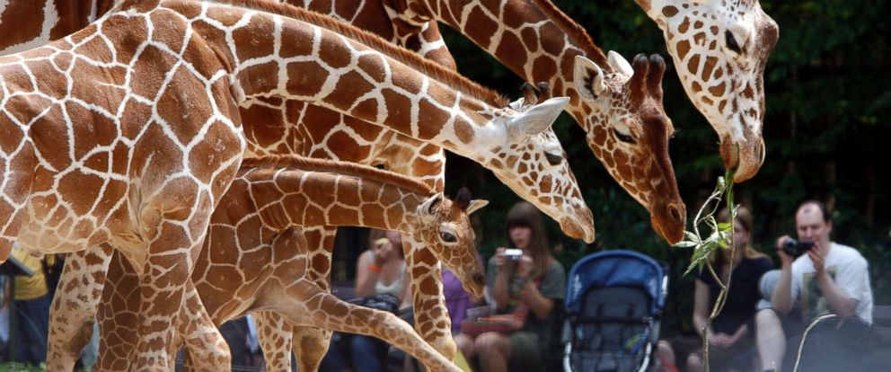 PHOTO: A family of Giraffe are seen in a zoo in Cologne, Germany.