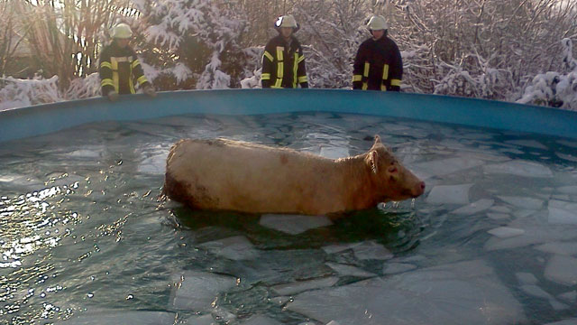 PHOTO: A cow standing in a partly frozen-over swimming pool, is rescued by the Fire Brigade Windeck in Windeck, Germany, Dec. 8, 2012.