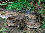 PHOTO: African rock python
