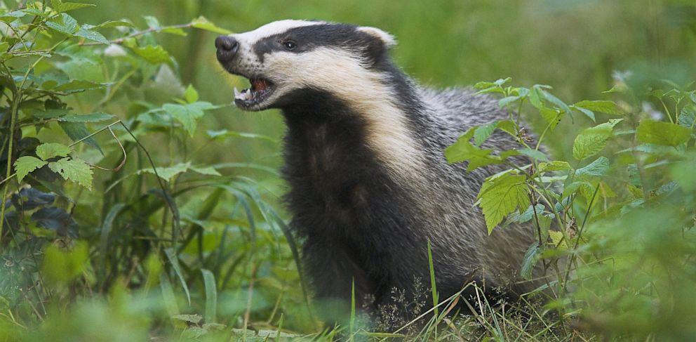 PHOTO: Badger eating cherries