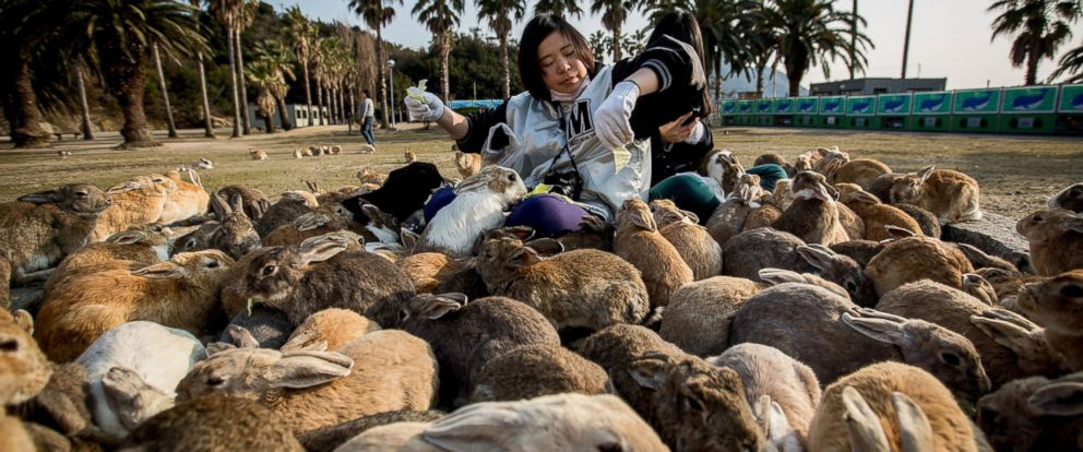 """PHOTO: Two tourists sit and feed hundreds of rabbits at Okunoshima Island, also known as """"Rabbit Island,"""" on Feb. 24, 2014, in Takehara, Japan"""