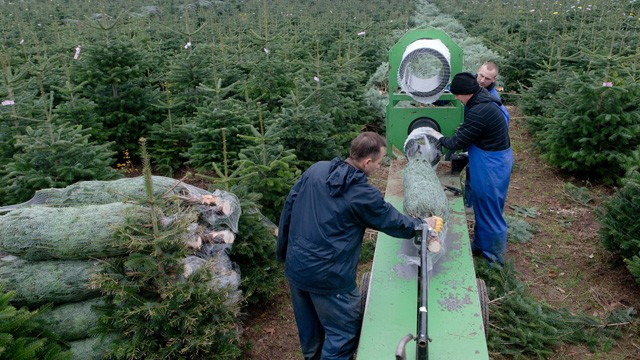 PHOTO: Seasonal workers from Poland prepare Christmas trees for sale at the Gut Sierhagen farm in Altenkrempe, northern Germany, on November 15, 2012.