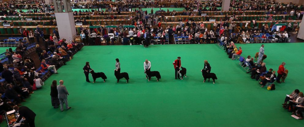PHOTO: Owners show their dogs on the second day of Crufts dog show at the National Exhibition Centre on March 6, 2015 in Birmingham, England.