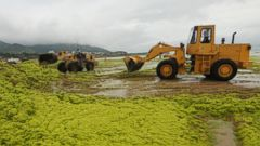 PHOTO: Workers clean up green algae with bulldozers at a beach on July 20, 2015 in Qingdao, China.