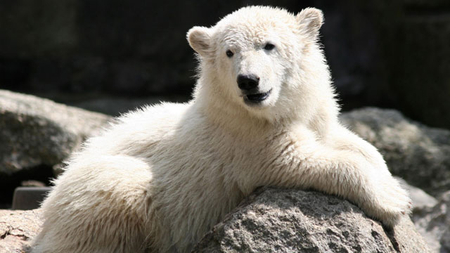 PHOTO: Polar Bear Knut is shown on his 6 month birthday at the Berlin Zoo, June 15, 2007 in Berlin, Germany.