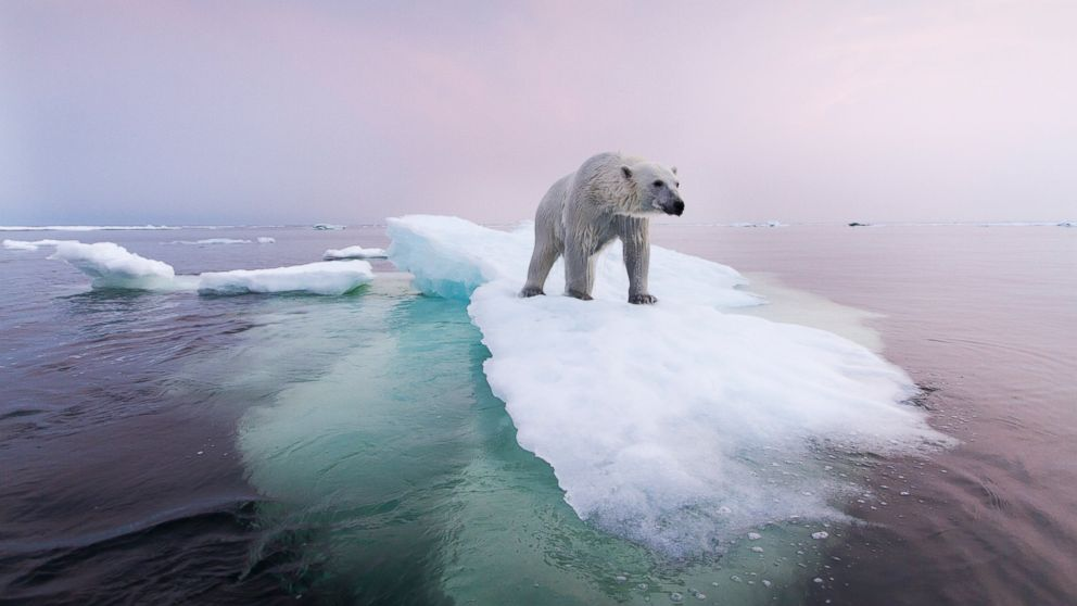 PHOTO: There are an estimated 20,000 to 25,000 polar bears left in the world.