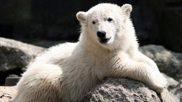 PHOTO: Knut the polar bear is seen at the Berlin Zoo, June 15, 2007 in Germany.