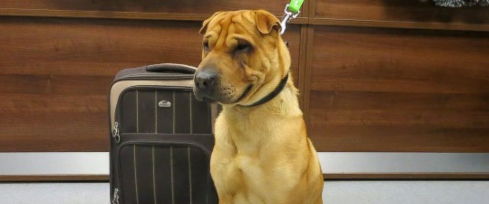 PHOTO: The Scottish SPCA released this undated photo of a male shar-pei mix that was found at a railway station in the town of Ayr, Scotland on Jan 2, 2014.