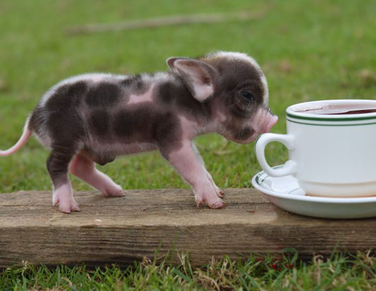 If you like miniature pigs