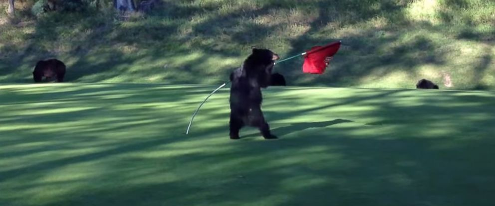 PHOTO: Video shows a baby bear playing with a flagstick at the Mountainside Golf Course at Fairmont Hot Springs Resort in Vancouver, British Columbia.