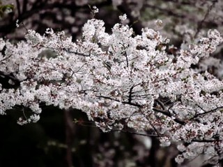 Cherry Blossoms in Motion