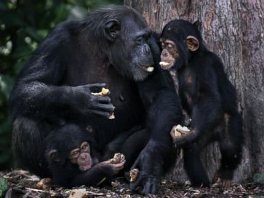 PHOTO: The Humane Society of the United States visited Liberia to see chimpanzees that the group says were used by an American charity in lab experiments.