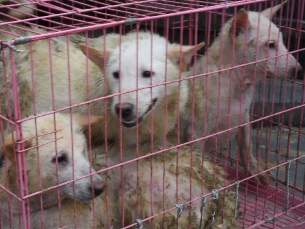 PHOTO: A group of dogs in China shown on video captured by the animal rights group Direct Action Everywhere.