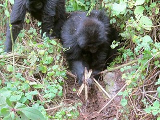 Gorillas Seen Dismantling Poacher Traps