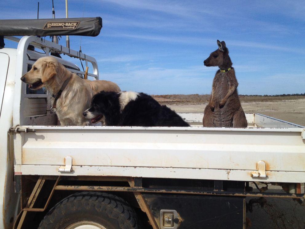 Meet Dusty, the Australian Pet Kangaroo Who Thinks Hes a