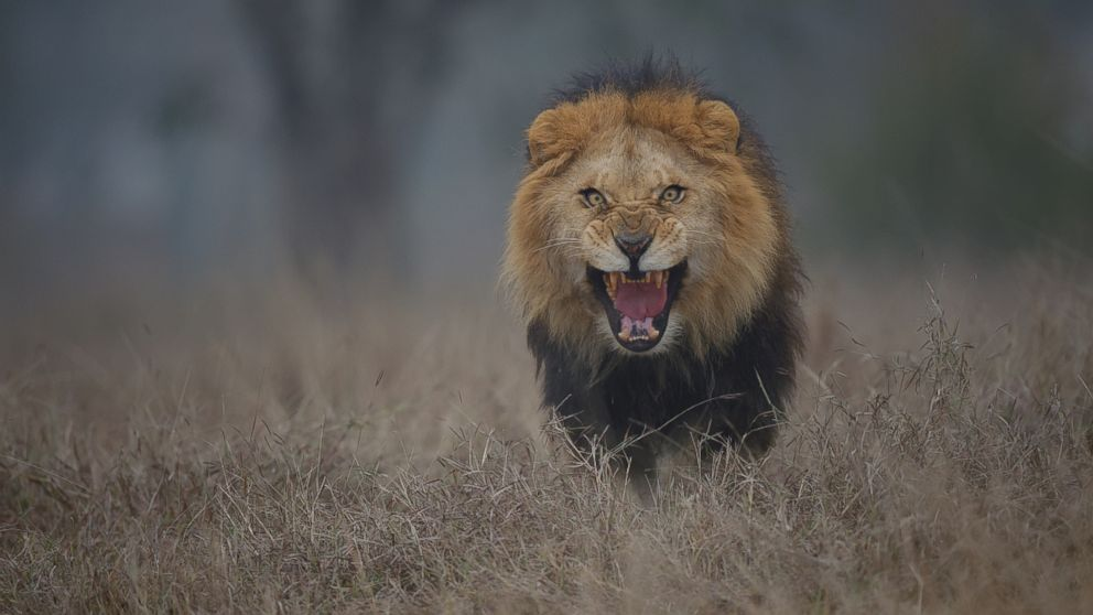 Photographers Chilling Image Of Attacking Lion Will Put Terror In - Photographer captures angry lion before attack