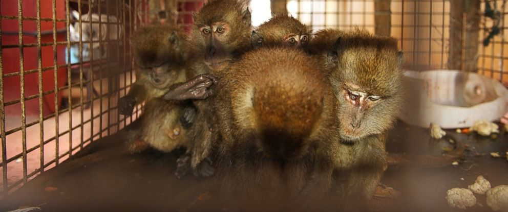 PHOTO: Five monkeys stowed away on a giant container ship traveling from Malaysia to the Netherlands. The ship's crew were able to lure the monkeys into a makeshift cage with food.